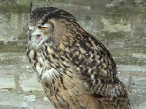 europ-eagle-owl