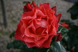 Red rose 2