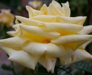 White Rose side