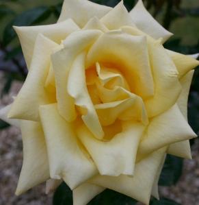 White Rose top