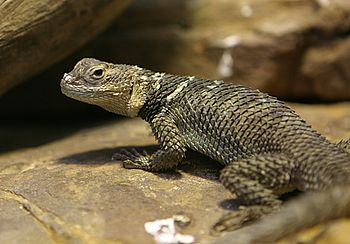 350px-Spiny_Lizard_-_Houston_Zoo