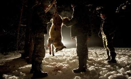 Carnivore extermination damaging ecosystems : Hunters skin a wolf.