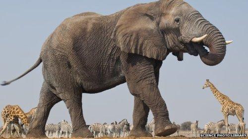 _77020848_c0161535-elephant_bull,_giraffes,_zebra,_namibia-spl