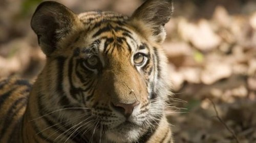 Habitat loss and hunting have reduced tigers from 100,000 a century ago to just 3,000