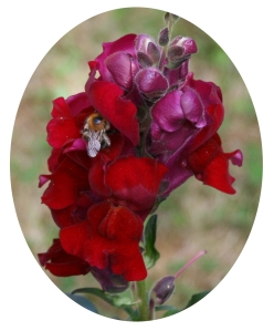 Bee in Snapdragon 3