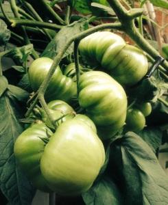 plump-tomatoes