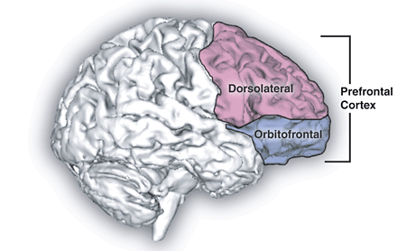 Prefrontal Cortex (for source of image see link)