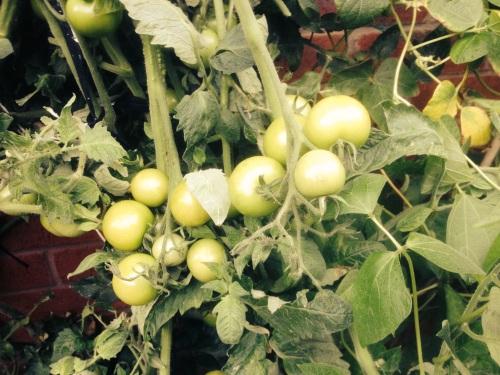 tomato-crop